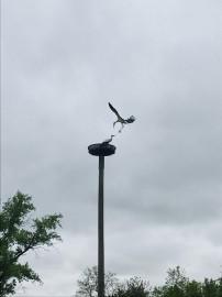storch_landung